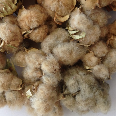 Close-up of multi-shade cotton bolls